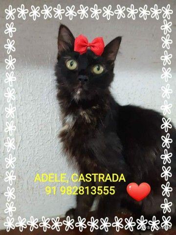 Gatos castrados disponíveis para adoção  - Foto 3