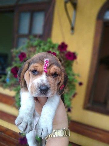 Belissimos filhotes de Beagle. Aceitamos cartão. - Foto 3