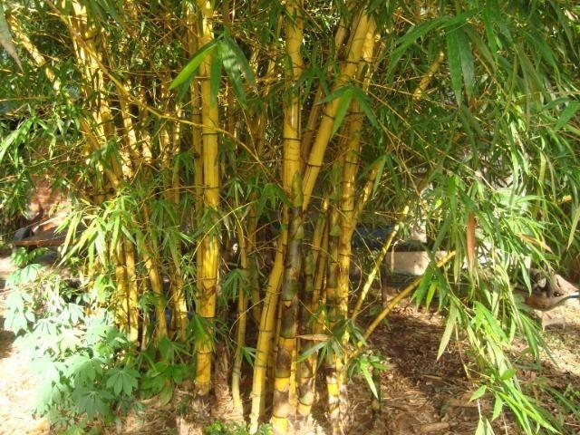 Vende-se varas de bambu taquara, cana da índia e imperial