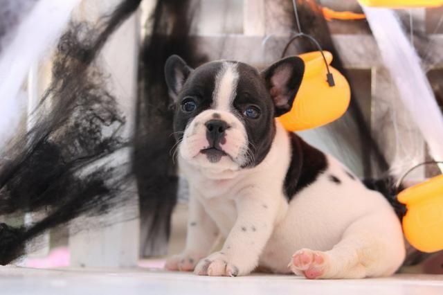 Bulldog frances lindos bebes porte pequeno - Foto 5