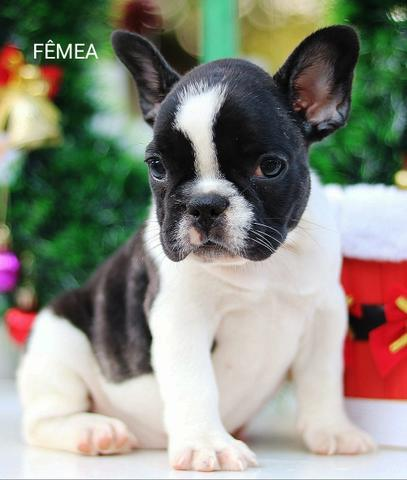 Bulldog frances lindos bebes porte pequeno - Foto 4
