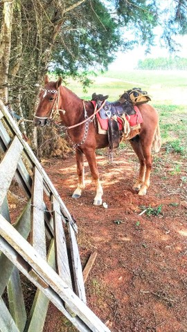 Vendo cavalo marchador 4 anos limpo de defeito cavalo garantido