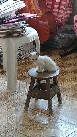 Doa-se Filhote de gato fêmea branca - Foto 2