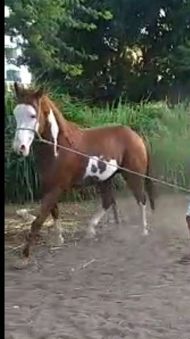 Cavalo Paint Horse de direita - Foto 3