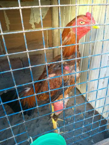 Vendo frango e galos de boa qualidade - Foto 5