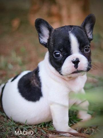 Bulldog frances lindos bebes porte pequeno