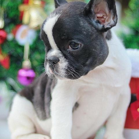 Bulldog frances lindos bebes porte pequeno - Foto 2