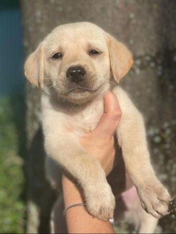 Labrador Retriever com pedigree e microchip em até 12x