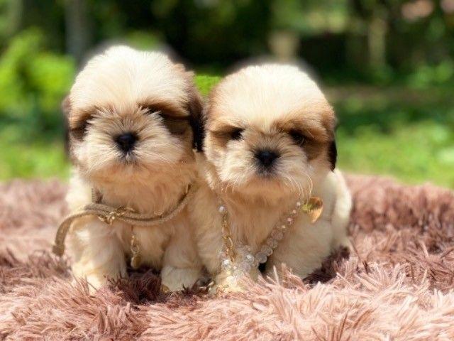 Lindos filhotes Shih Tzu com Pedigree  - Foto 6