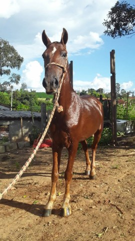 Vendo cavalo marchador 4 anos limpo de defeito cavalo garantido - Foto 3
