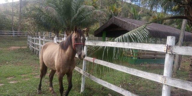Égua misturada mangalarga e quarto de milha 8 anos  - Foto 3