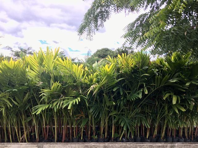 Mudas de Palmeira Veitchia - Foto 2