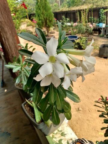 Rosas e sementes do deserto - Foto 4