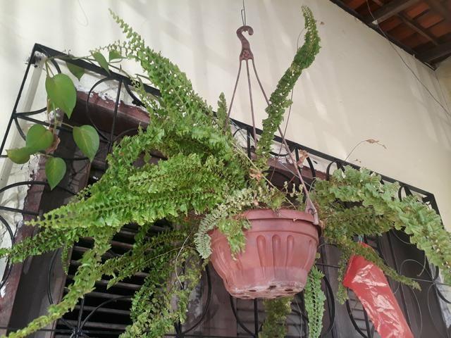 Plantas ornamentais - Foto 4