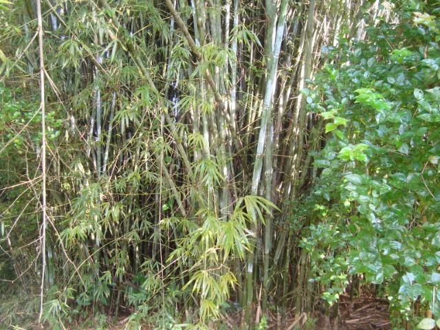 Vende-se varas de bambu taquara, cana da índia e imperial - Foto 3