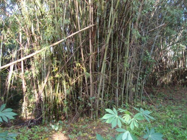 Vende-se varas de bambu taquara, cana da índia e imperial - Foto 4