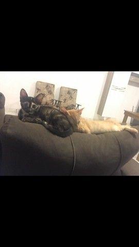 Doa-se gatinhas (castração garantida) - Foto 4
