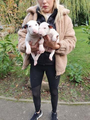Bull Terrier Inglês Lindos filhotes com garantias a vendas