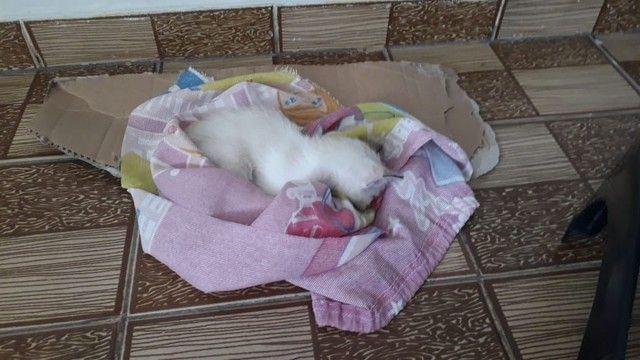 Filhote de gato branca fêmea - Foto 2