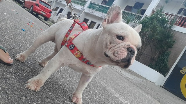 bulldog procura namorada