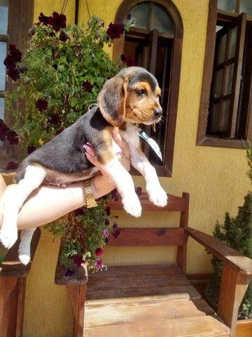 Belissimos filhotes de Beagle. Aceitamos cartão.