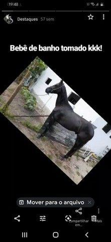 Vendo ou troco, cavalo manga larga marchador , marcha batida ,pego bezerros e etc. - Foto 5