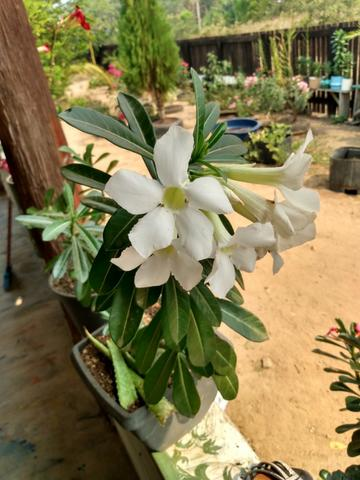 Rosas e sementes do deserto - Foto 5