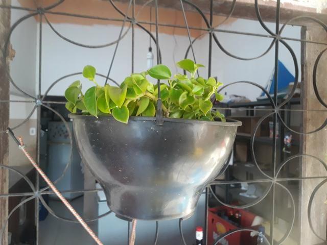 Plantas ornamentais - Foto 2