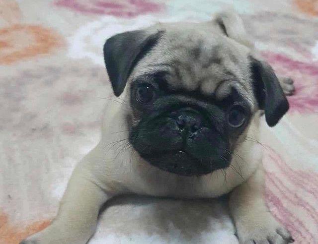 Lindos Filhotes Pug