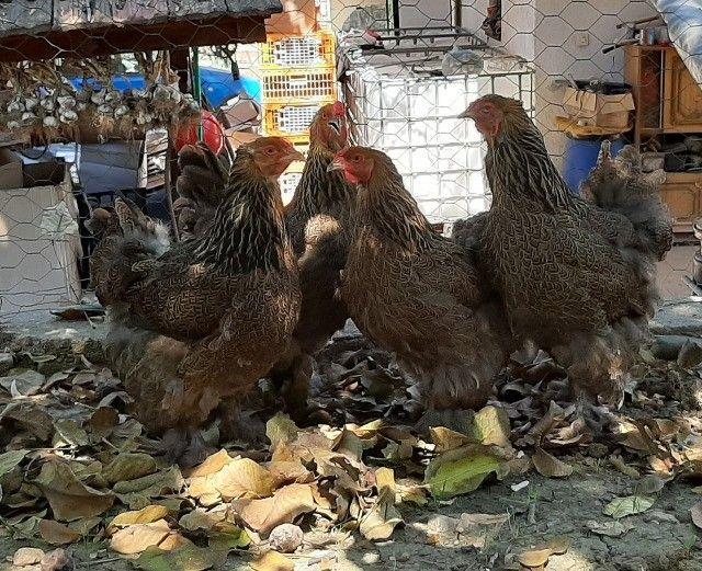 Ovos férteis galinha brahma(Aves das fotos) - Foto 3
