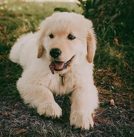 Golden Retriever Perfeitos