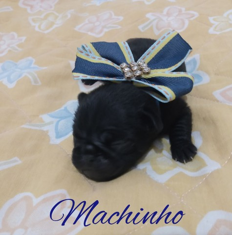 Pugs abricot e Black (disponível) - Foto 2