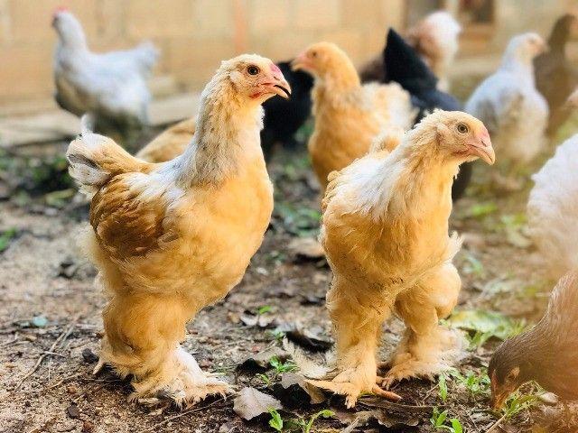 Ovos férteis galinha brahma(Aves das fotos) - Foto 5