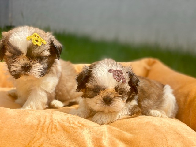 Pequeninos bebês Shih Tzu Machos em Família Recanto Ribeiros