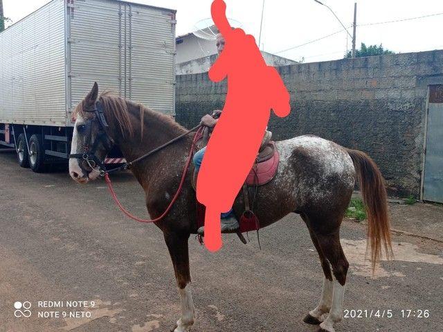 Cavalo top 3,700 mangalarga paulista