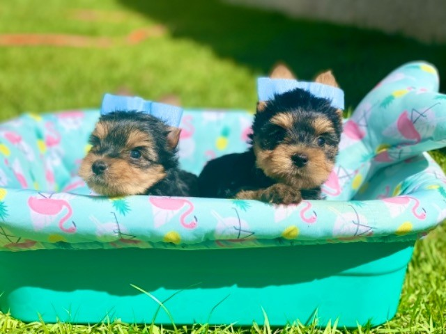 Pequeninos bebês mini Yorkshire com Pedigree - Foto 3