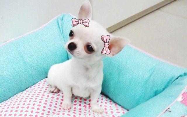 Chihuahua- filhotes lindos e saudáveis - Foto 2