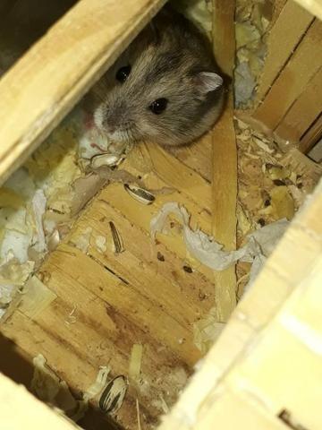 Hamster anão russo - Foto 5