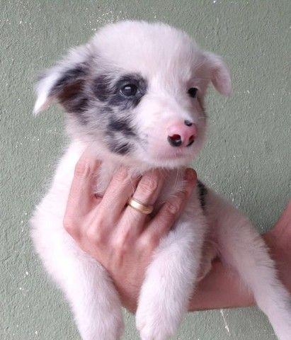 Border Collie- filhotes lindos e saudáveis - Foto 3