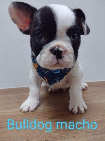 Babys de bulldog frances