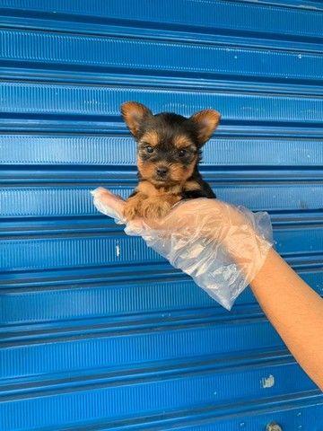 Yorkshire Terrier tamanhos micro e padrão, assistência veterinária gratuita!  - Foto 2