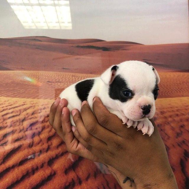Bulldog francês vacinados - Foto 2