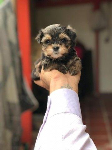 Yorkshire Terrier tamanhos micro e padrão, assistência veterinária gratuita!