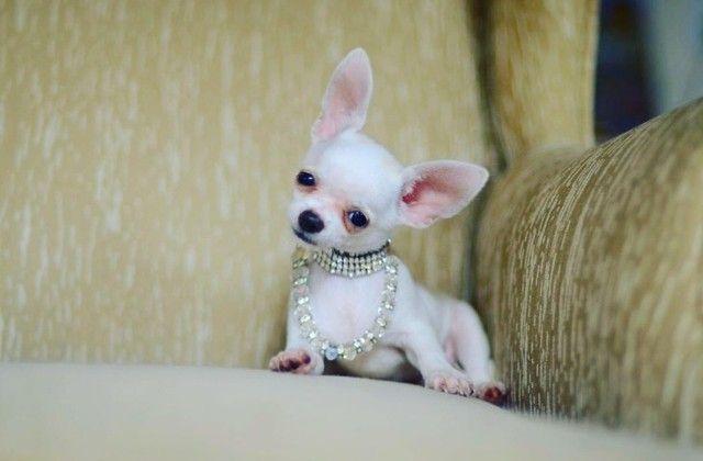 Chihuahua- filhotes lindos e saudáveis - Foto 4