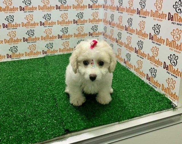 linda poodle femea em 10x ja vacinada com garantia!!! - Foto 2