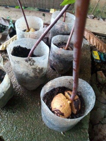 Pé de abacate R$25,00 - Foto 2