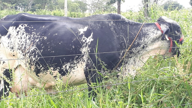 Vacas Girolando - Foto 6
