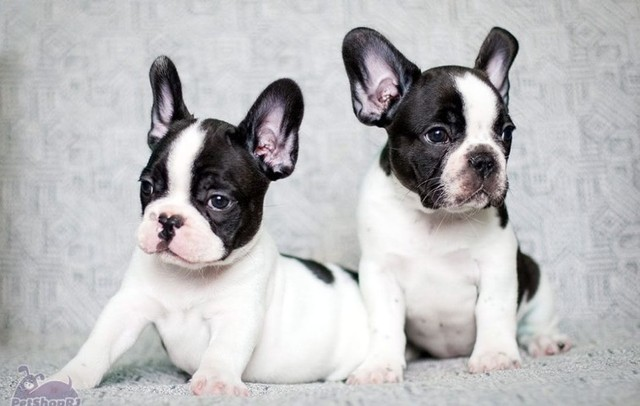 Bulldog frances, temos machinhos disponiveis!