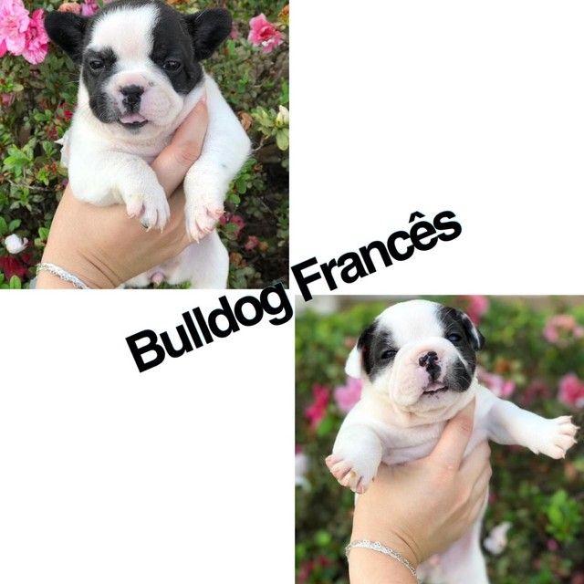 Bulldog Francês com pedigree e microchip até 12x