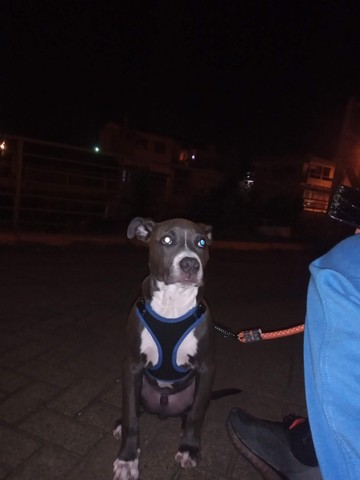 Pitbull  - Foto 4